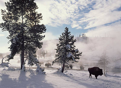 American Bison In Winter Yellowstone Print by Tim Fitzharris