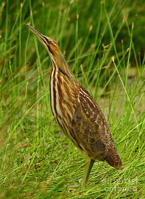 American Bittern Looking Up Art Print by Robert Frederick
