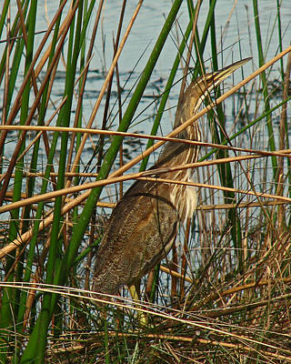 Photograph - American Bittern by Peg Urban