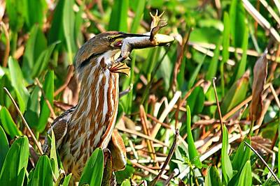 Photograph - American Bittern With Frog by Ira Runyan