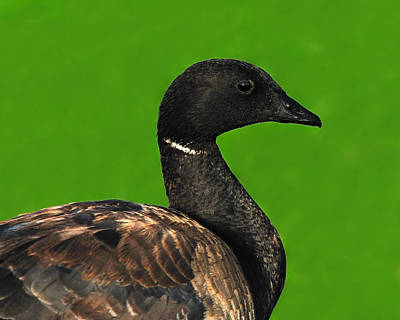 Photograph - American Brant by Tony Beck