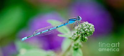 Common Blue Photograph - American Common Blue Damselfly by Betty LaRue