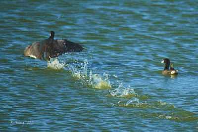 Photograph - American Coot Mud Hen Running Start by Roena King