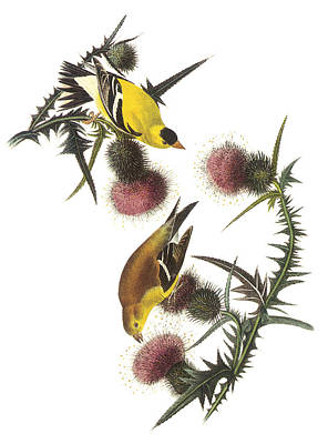 American Goldfinch Art Print by John James Audubon