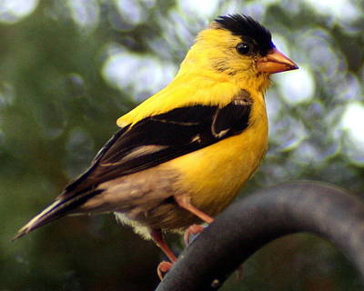 Print featuring the photograph American Goldfinch by Laurel Talabere