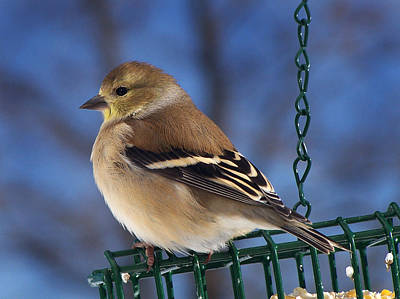 Photograph - American Goldfinch Portrait by Bill Pevlor