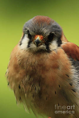 American Kestral Watching You Art Print by Inspired Nature Photography Fine Art Photography