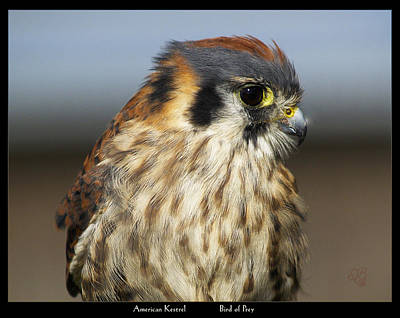 Photograph - American Kestrel by Barbara Middleton