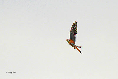 Photograph - American Kestrel In Flight by Roena King