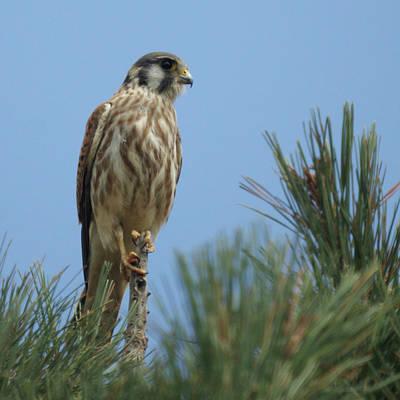 Falcon Photograph - American Kestrel Juvenile by Ernie Echols