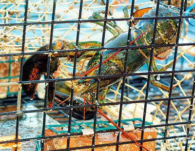 Netting Photograph - American Lobster In Trap In Chatham On Cape Cod by Matt Suess