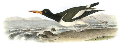 Sea Birds Painting - American Oystercatcher by John James Audubon