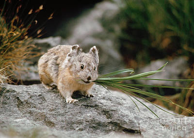 Art Print featuring the photograph American Pika by Doug Herr