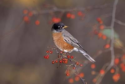 Unicorn Dust - American Robin In Crab Apple Tree by Natural Selection Bill Byrne
