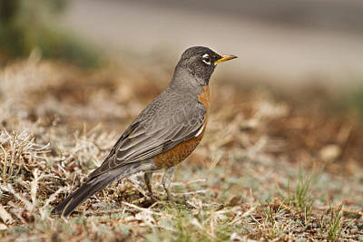 Commercial Licensing Photograph - American Robin In The Hood by James BO  Insogna