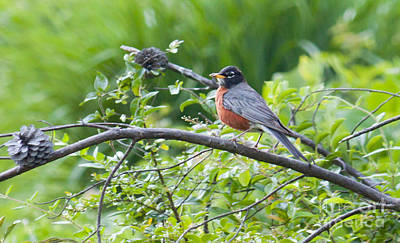 Photograph - American Robin by Lena Auxier