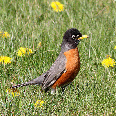 Photograph - American Robin by Mark J Seefeldt