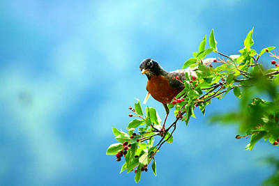 Photograph - American Robin by Paul Ge