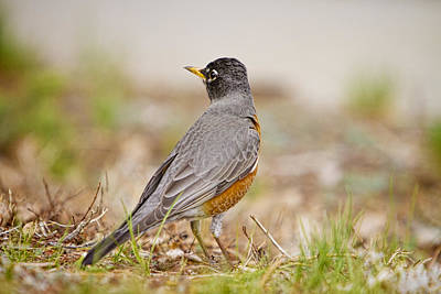 Commercial Licensing Photograph - American Robin Portrait by James BO  Insogna