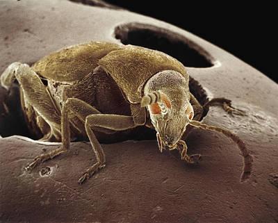 American Seed Beetle Sem Art Print by Albert Lleal