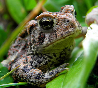 Photograph - American Toad by Griffin Harris