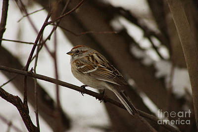 Photograph - American Tree Sparrow by Alyce Taylor
