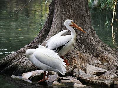 Photograph - American White Pelican by Julie Clements
