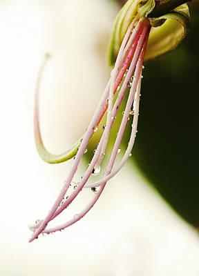 Amherstia Photograph - Amherstia Nobilis 1 by Marilyn Hunt