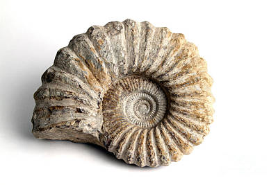 Photograph - Ammonite Fossil Fossil by Photo Researchers