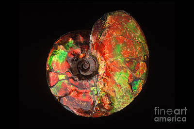 Photograph - Ammonite Fossil by Francois Gohier and Photo Researchers