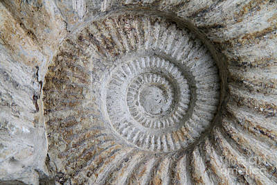 Photograph - Ammonite Fossil by Photo Researchers