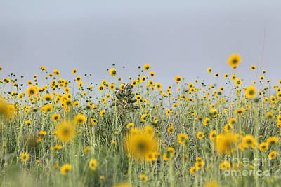Photograph - Among Sunny Susans by Alycia Christine