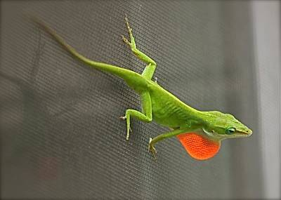 Photograph - Amorous Anole Display by Jeanne Kay Juhos