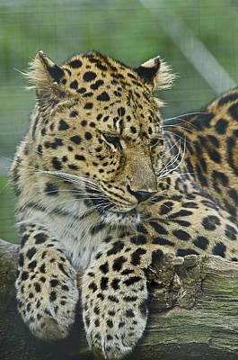 Photograph - Amur Leopard by JT Lewis