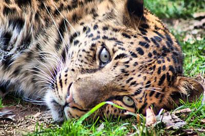 Art Print featuring the photograph Amur Leopard by Lynne Jenkins