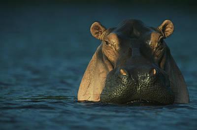 Gabon Photograph - An Adult Hippopotamus Standing In Water by Michael Nichols