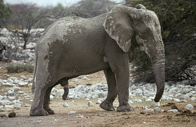 African Sex Photograph - An African Elephant Bull Coated In Mud by Jason Edwards