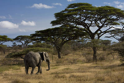 An African Elephant Walks Among Acacia Art Print by Ralph Lee Hopkins