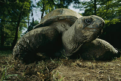 An Aldabra Tortoise At The Audubon Zoo Print by Michael Nichols