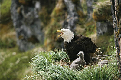 An American Bald Eagle And Young Art Print by Klaus Nigge