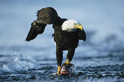 An American Bald Eagle Clasps A Fish Art Print by Klaus Nigge