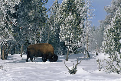 An American Bison Bison Bison Forages Print by Norbert Rosing