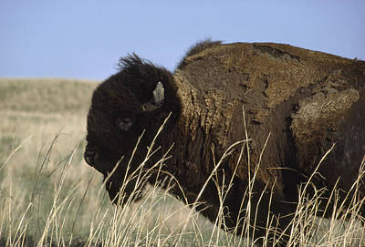 An American Bison Bison Bison Still Art Print by James P. Blair