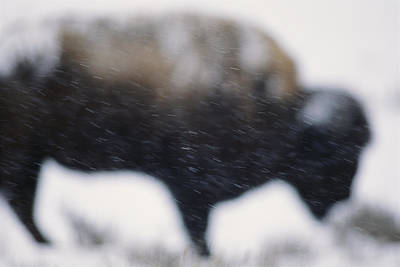An American Bison Braves A Blizzard Art Print by Annie Griffiths