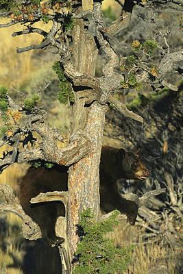 An American Black Bear Climbing A Tree Art Print