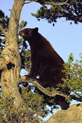 An American Black Bear Stands In A Tree Art Print