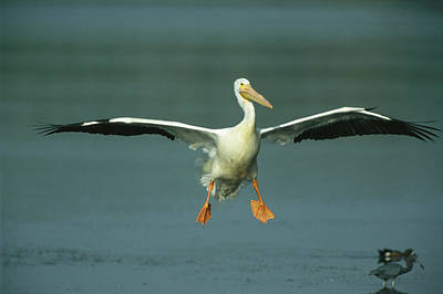 An American White Pelican In Flight Art Print by Klaus Nigge