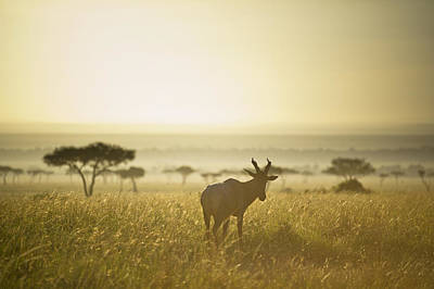 Over The Shoulder Photograph - An Antelope Walks In The Grassland At by David DuChemin