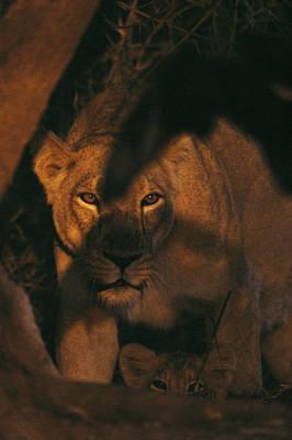 Gir Photograph - An Asian Lioness Stands by Mattias Klum