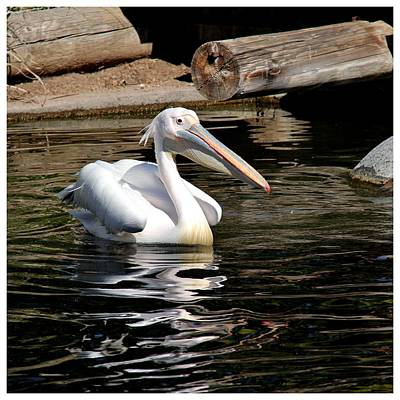 Photograph - An Australian Pelican by Frank Wickham